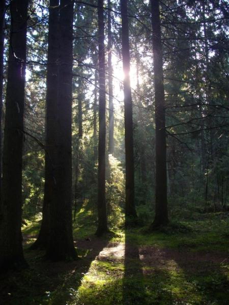 Гуляя в Токсовском хвойном лесу