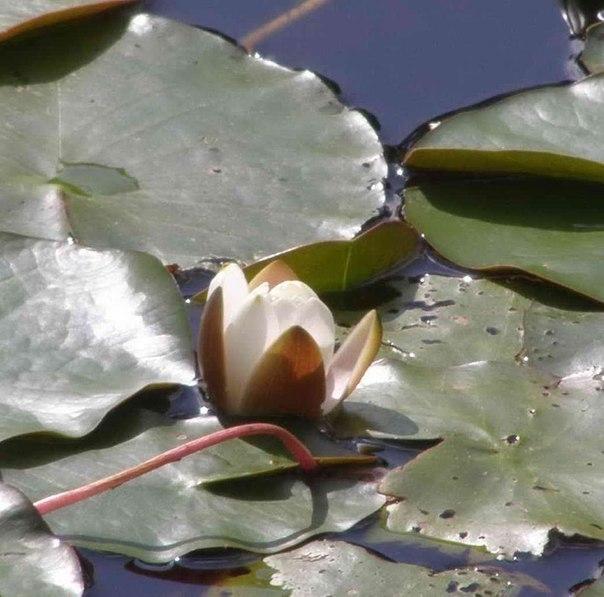 В церковном пруду расцветают белые кувшинки