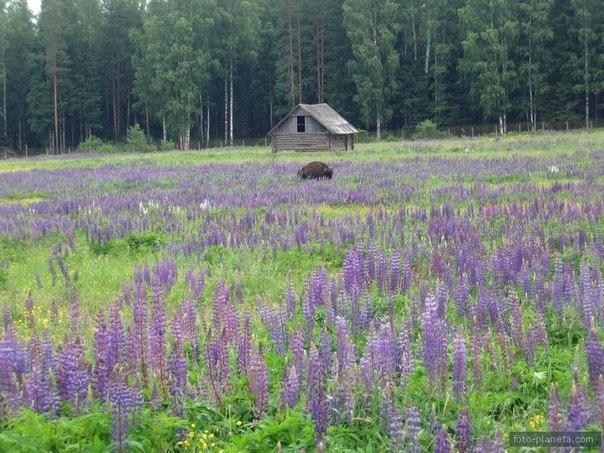 На Купалу всё поле зарастает люпинами и вы сможете увидеть это во время поездки