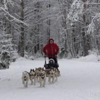 Катание на собачьих упряжках в СПб